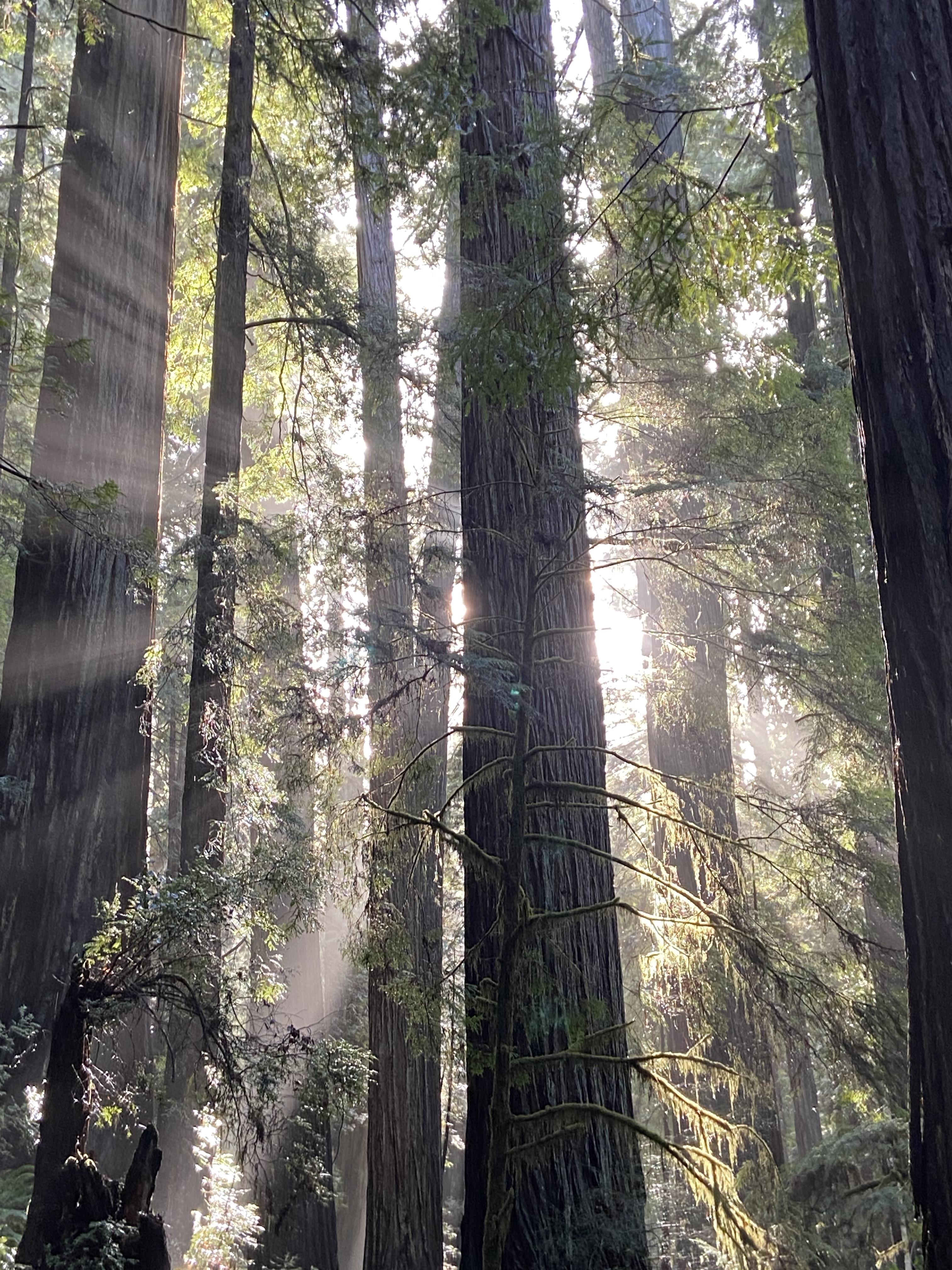 Redwoods - Julie Goolsby